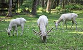 image of deer family  - Three white red deers eating the grass in the forest - JPG