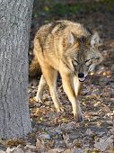 stock photo of jackal  - Golden jackal (Canis aureus) is walking in a forest