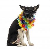 image of border collie  - Border collie sitting and wearing sunglasses and a hawaiian lei - JPG