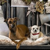 stock photo of greyhounds  - Chihuahua and Italian greyhound in front of a rustic background - JPG