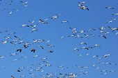 stock photo of snow goose  - Large group of snow geese Chen caerulescens in flight against blue sky - JPG