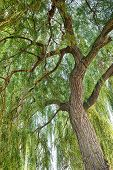 foto of weeping willow tree  - Green willow tree with lush foliage in summer.