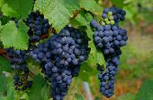 pic of moselle  - Umbel with red wine grapes on the Moselle - JPG