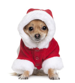 image of puppy christmas  - Chihuahua in Santa coat 1 year old sitting in front of white background - JPG