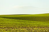 picture of crop  - the rural landscape with rising agricultural crops  - JPG