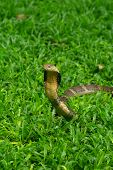 picture of cobra  - King Cobra The world