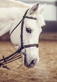 picture of bridle  - white horse in the bridle on training - JPG