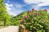 picture of lilac bush  - Carpathian spring landscape - JPG