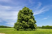 picture of linden-tree  - Old linden with large branches standing alone tree in a field on the background of forest and sky  - JPG
