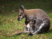 stock photo of wallabies  - A Wallaby mother with her baby in her pouch - JPG