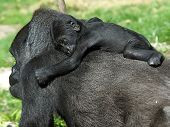 pic of gorilla  - A Gorilla mother with her baby on her back - JPG