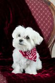 picture of maltese  - An adorable little twelve week old Maltese puppy on a deep red blanket - JPG