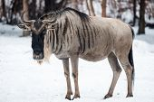 picture of wildebeest  - A Wildebeest is standing in the snow - JPG