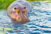 picture of hippopotamus  - Close encounters with hippopotamus in Chobe river in Botswana - JPG
