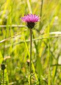 pic of cardo  - milk thistle in a green meadow blur - JPG