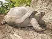 foto of tortoise  - Aldabra Giant Tortoise  - JPG