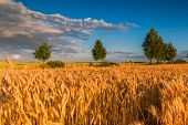 picture of grown up  - Sunset over cereal field with grown up ears - JPG