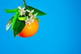 foto of valencia-orange  - Oranges with orange blossom flowers in spring on blue background - JPG