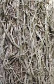 picture of english ivy  - twisted ivy stems climbing the trunk of a tree - JPG