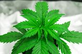 Cultivation Growing Under Led Light. Marijuana In Grow Box Tent. Cannabis Plant Growing. Close Up. G poster