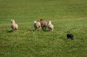 Stock Dog Herds Group Of Sheep (ovis Aries) Out Into Field - At Sheep Dog Herding Trials poster