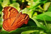 Brown Butterfly The Symbolism Of Brown Colored Butterflies And Brown Butterfly Mythology, Legends, S poster