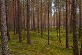 stock photo of backwoods  - wery nice pine forest in the Estonia - JPG