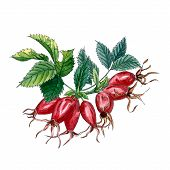 Dog Rose (eglantine Rose, Rubiginosa), Rose Hip Branch With Berries And Leaves Isolated On White Bac poster
