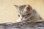Kitten Sitting In A Basket. Little Kittens In A Basket With A Towel... poster