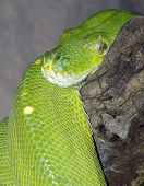 stock photo of green tree python  - A Green Tree Python coiled around a branch - JPG