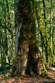 Background - Old Mossy Tree Trunk In Subtropical Forest, Yew-boxwood Grove poster