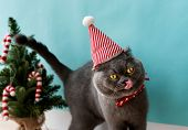 Scottish Fold cat wearing a red bow celebrating Christmas poster