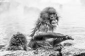 Raging Japanese Snow Monkey Sitting In A Hot Spring. Nagano Prefecture, Japan. poster