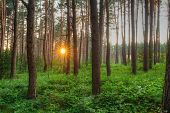 Beautiful Sunset Sunrise Sun Sunshine Shining Through Pine Trees In Sunny Summer Coniferous Forest.  poster