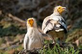 Two White Egyptian Vultures. White Scavenger Vulture Or Pharaohs Chicken (neophron Percnopterus) Ha poster