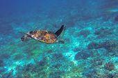 Sea Turtle Underwater Photo. Coral Reef Animal In Ocean Waters. Marine Tortoise Undersea. Green Turt poster