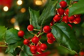 Freshly cut holly branch as holiday decor with defocused christmas tree and lights in background.  M