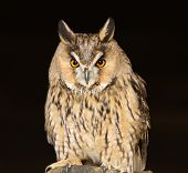 stock photo of screech-owl  - Portrait of a Long Eared Owl with bright eyes - JPG