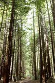 foto of redwood forest  - Redwood tree forest - JPG