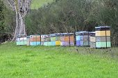 picture of bee keeping  - bee hives in the country of New Zealand - JPG
