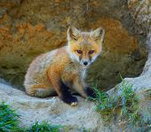 a baby red fox near a den
