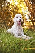 stock photo of standard poodle  - a poodle in a sunny park in the summer - JPG