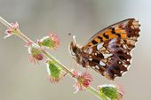 Boloria Dia Butterfly In Nature
