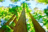 foto of sequoia-trees  - Sunny day in redwood grove north California - JPG