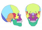 image of jaw-bone  - human skull anatomy - JPG