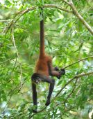 stock photo of baby spider  - costa rican male juvenile spider monkey hanging from tree branch - JPG