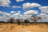 Savanna landscape with baobabs
