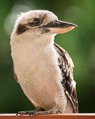 stock photo of kookaburra  - a portrait of a kookaburra sitting on a ledge - JPG
