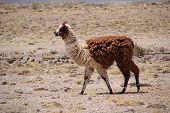 stock photo of lamas  - Lama shot in Bolivia - JPG