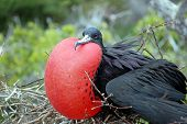 Male frigate bird.